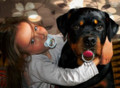 Rottweiler Odie vel Cycu bohaterem. Obronił dziecko i uratował małą suczkę