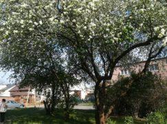 Botaniczne ciekawostki Pabianic: Nieszpułka koło wieżowców