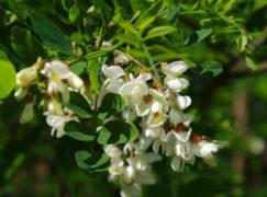 Botaniczne ciekawostki Pabianic: Akacja