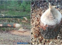 Bobrom brakuje wody. Schronienia szukają w okolicznych lasach