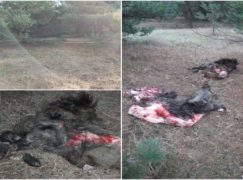 Aż trzy zabite dziki. Resztki do zbadania pod kątem ASF