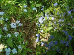 Botaniczne ciekawostki Pabianic: Niezapominajka a ułudka i przetacznik ożankowy