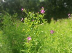 Botaniczne ciekawostki Pabianic: Wierzbownica na prostatę