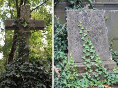 Botaniczne ciekawostki Pabianic: Bluszcz pospolity